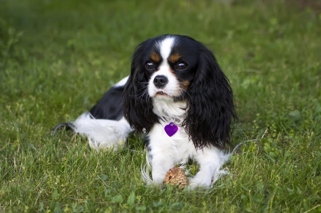 Cavalier King Charles allongé sur l'herbe