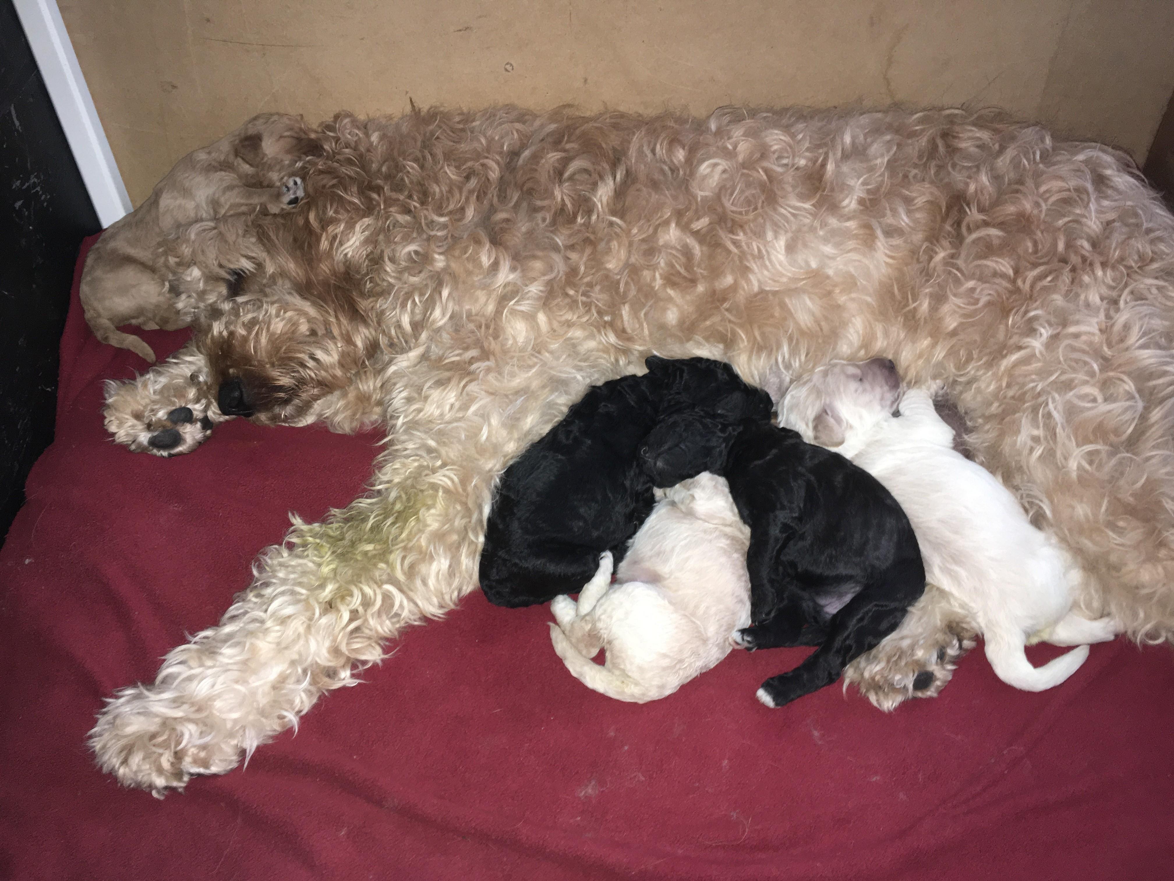 Charlotte avec ses 5 chiots