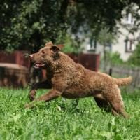 Chesapeake Bay Retriever qui court