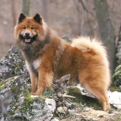 Chien Eurasier en forêt debout sur un rocher