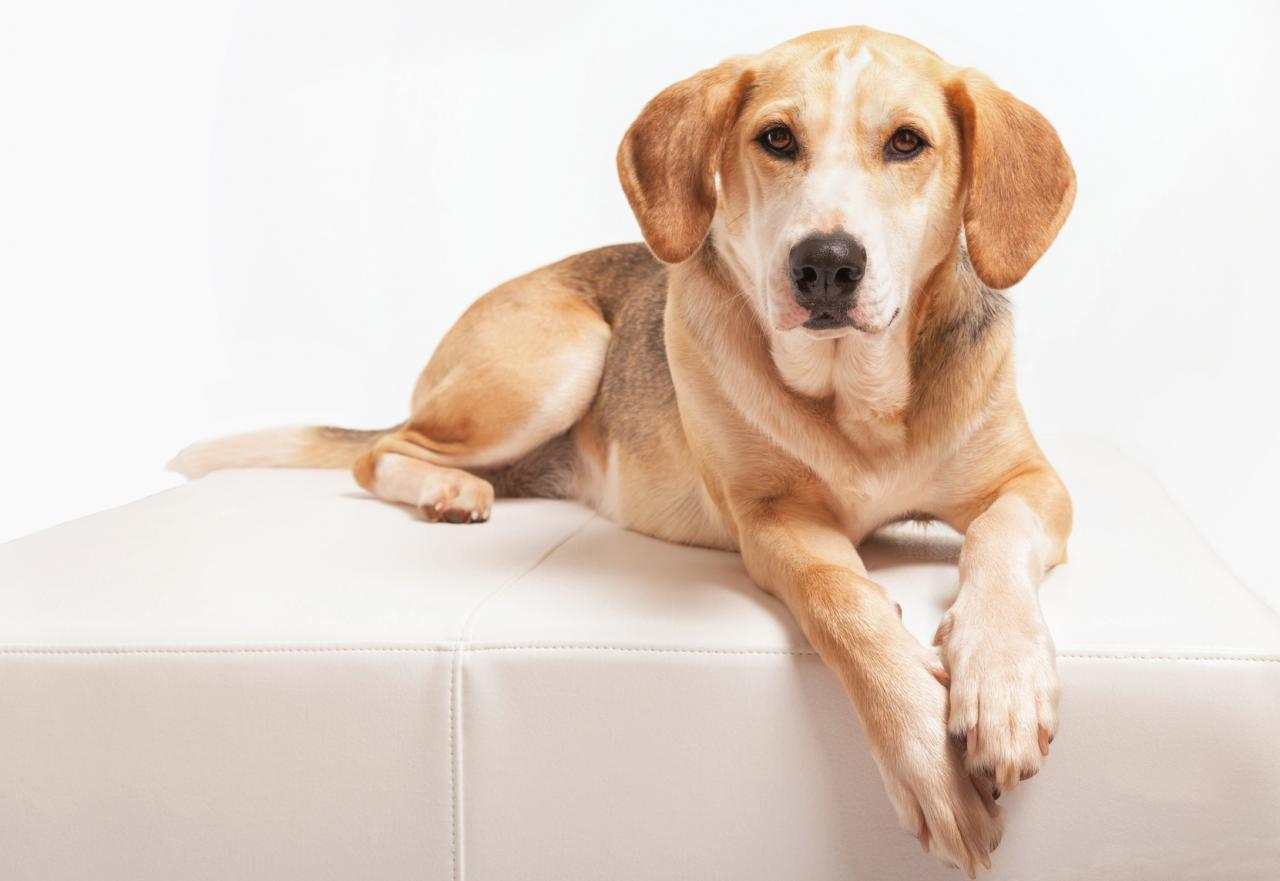 Chien Foxhound couché sur un fauteuil