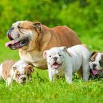 Chienne Bouledogue Anglais avec ses petits