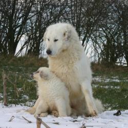Chienne Patou avec son petit assis sur la neige