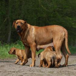 Chienne Tosa avec ses petits