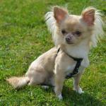 Chihuahua couleur crème assis dans l'herbe