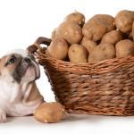 Chiot Bulldog Anglais avec son panier de pommes de terre