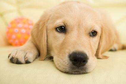 Chiot Labrador avec sa balle