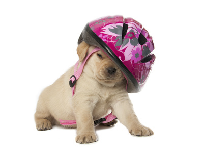 Chiot Labrador avec son casque rose