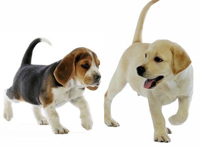 Chiot Labrador avec son copain Beagle