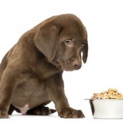 Chiot Labrador couleur chocolat avec sa gamelle