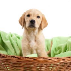 Chiot Labrador dans son panier en osier