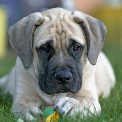 Chiot Mastiff couché sur l'herbe