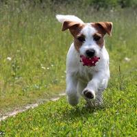 Chiot Parson Russell Terrier avec son jouet