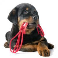 Chiot Rottweiler qui tient sa laisse rouge dans la gueule