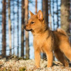 Chiot Spitz Finlandais dans la forêt