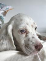 Cleo petite setter anglaise de 2 mois