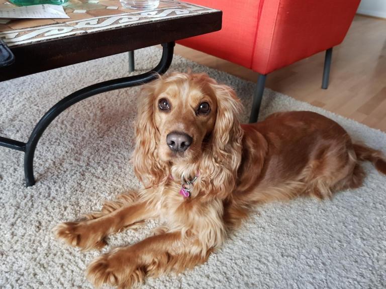 Cocker Anglais de 4 ans, la chienne de Julie