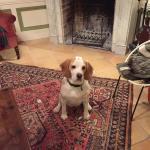 Comète, jolie Beagle