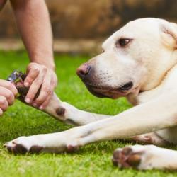 Un Labrador qui se fait couper les griffes