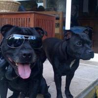 Deux Staffordshire Bull Terrier à la cool !