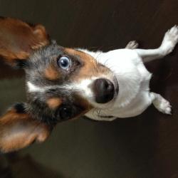 Django, le petit Chihuahua de Marie