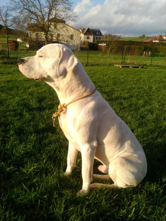 Ikalasch, le magnifique Dogue Argentin de Francis