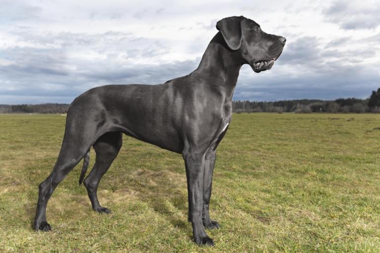 Dogue Allemand dans un champs