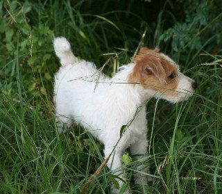 Dream' In, un petit Parson Russell Terrier