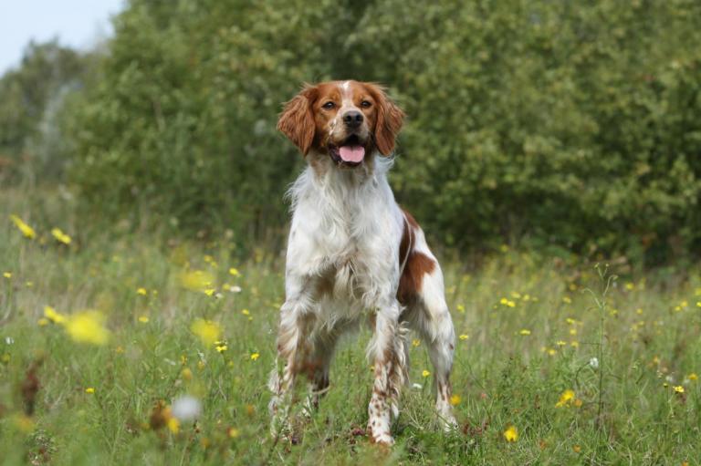 Épagneul Breton marron et blanc debout dans un champs