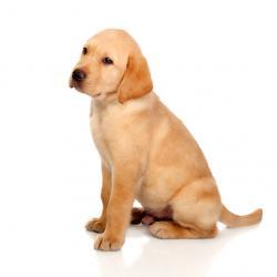 Chiot Labrador retriever mâle