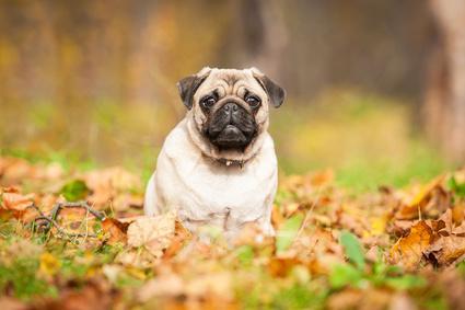 Photo d'un Carlin dans la forêt