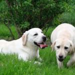 Elevage Del Punta Verde : 2 Labradors sable dans l'herbe