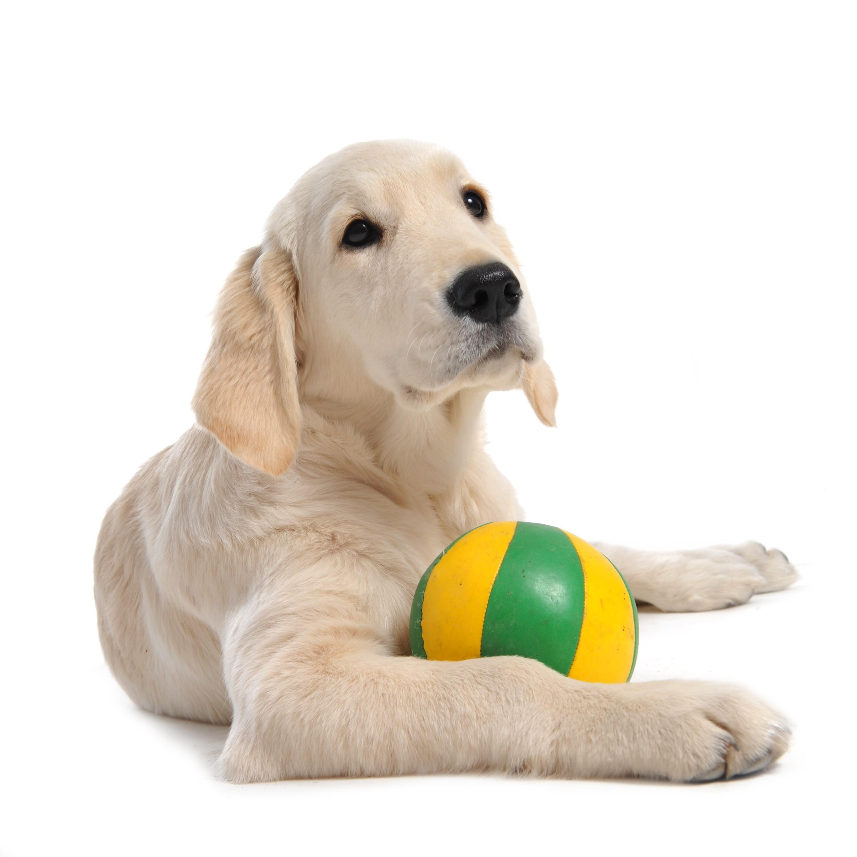 Chiot Golden retriever avec son ballon