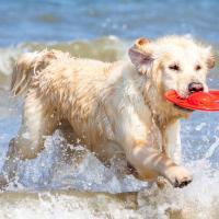 Chiot Golden retriever qui fait du frisbee à la mer