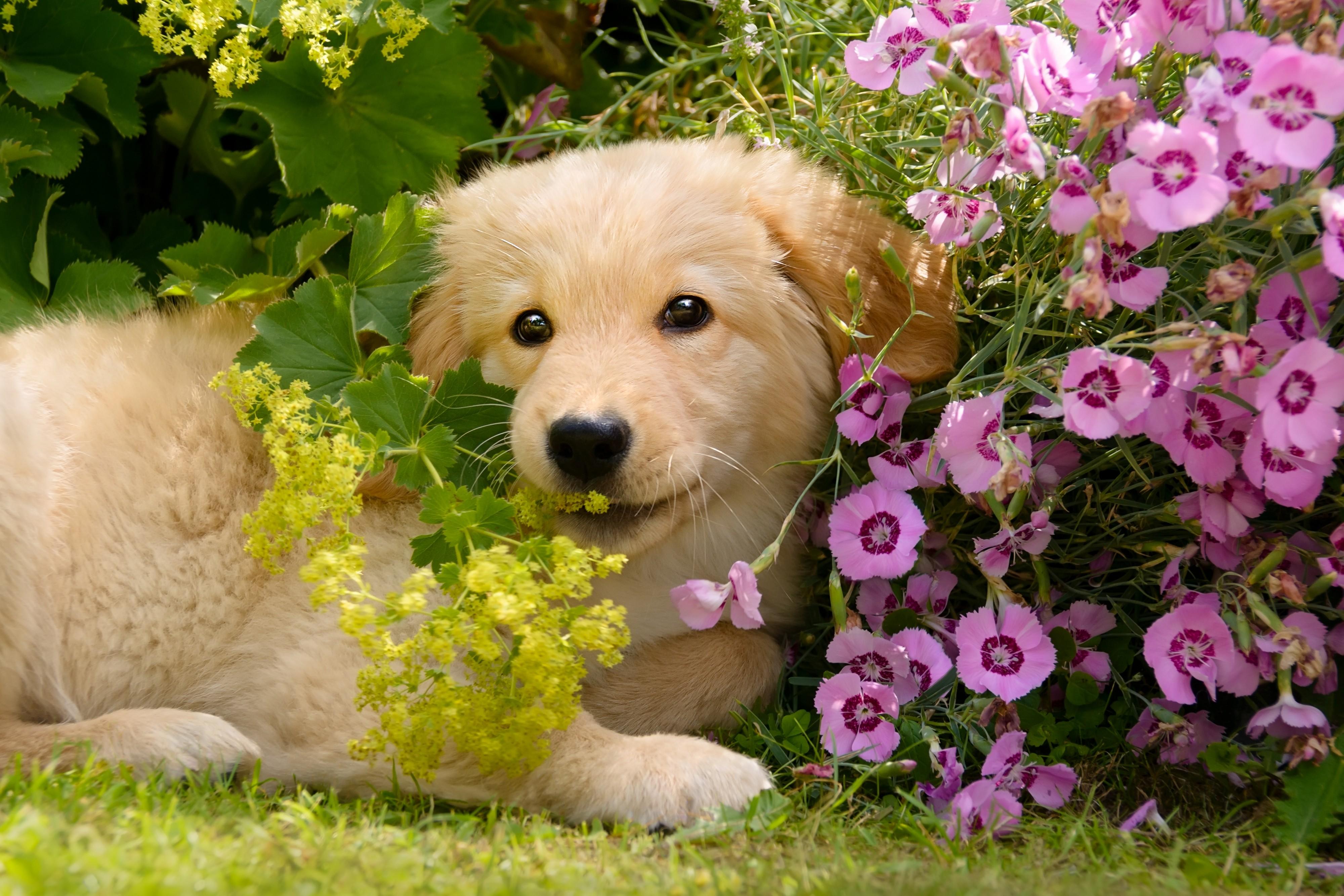 Chiot Golden retriever dans les fleurs