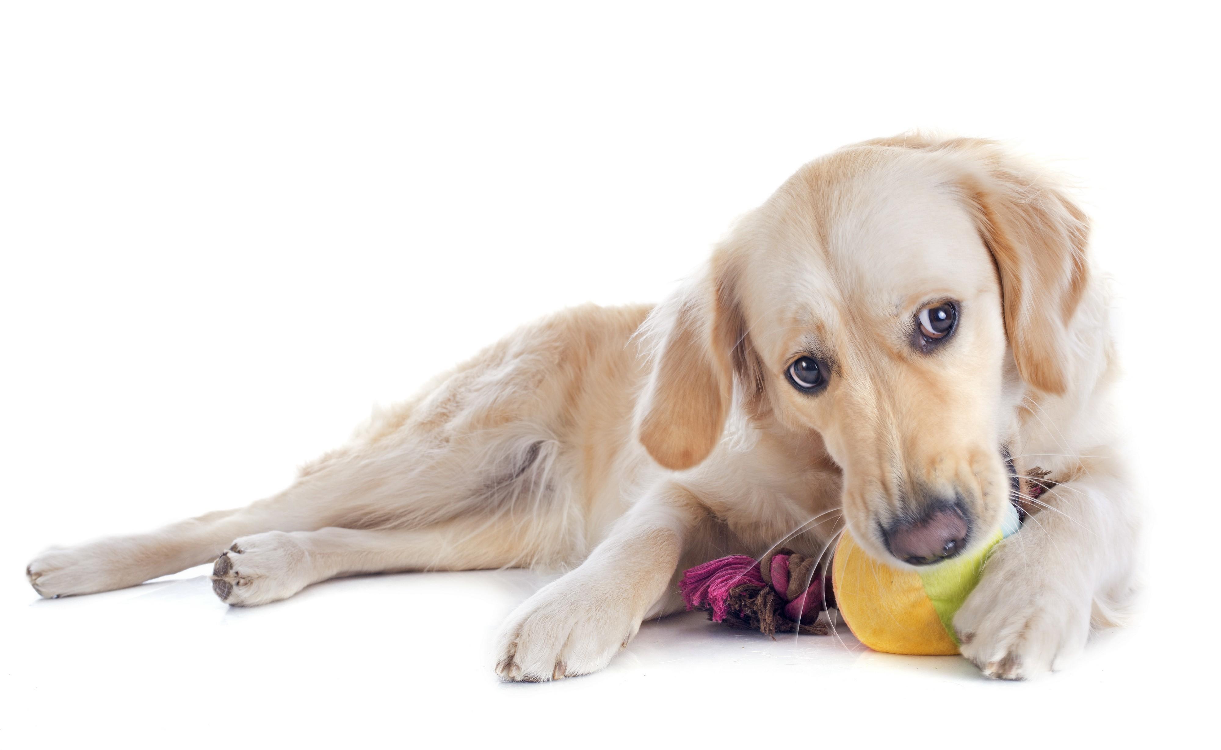 Golden retriever qui joue avec son jouet
