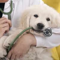 Chiot Golden retriever chez le vétérinaire