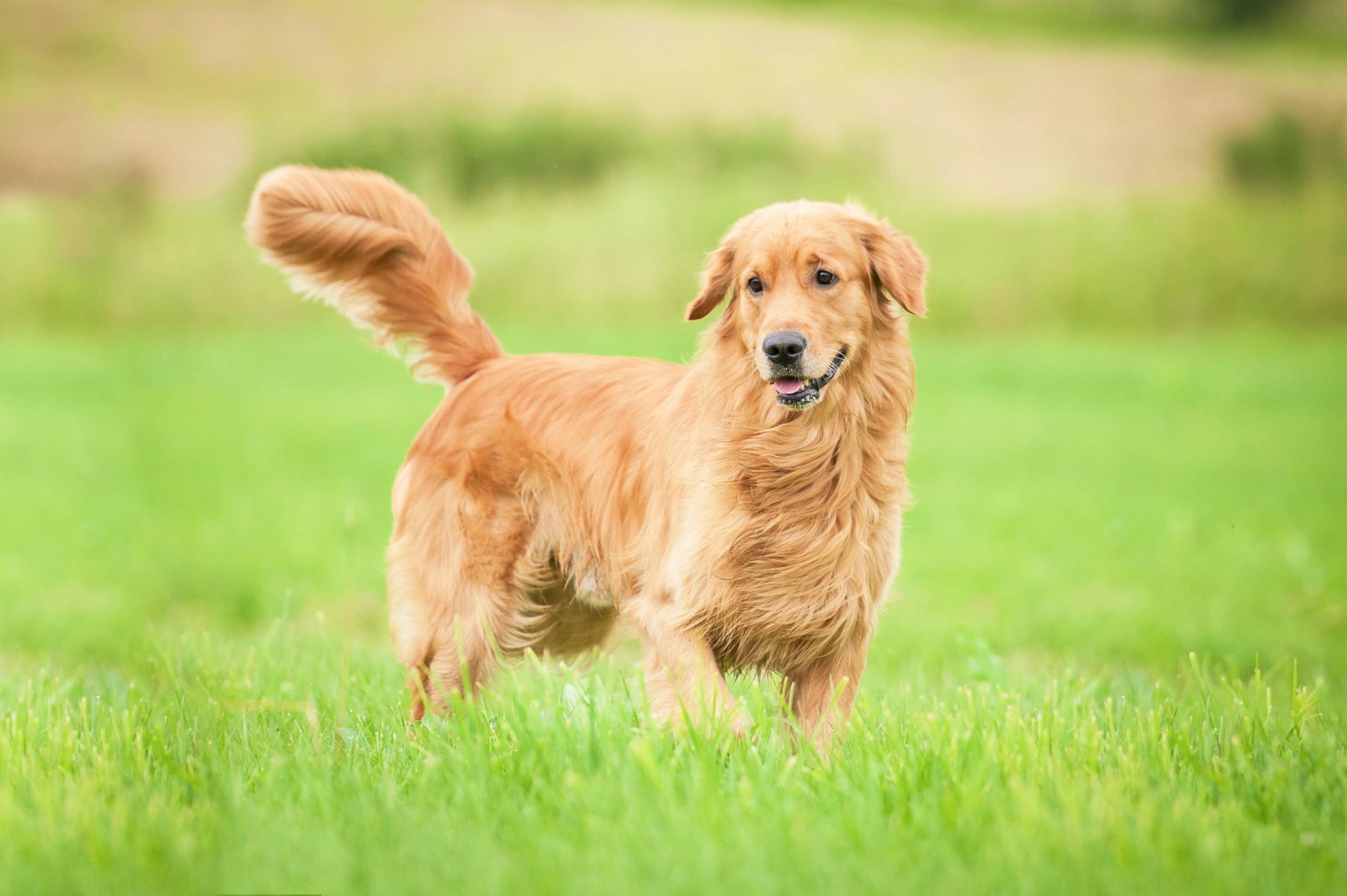 Golden retriever debout dans l'herbe