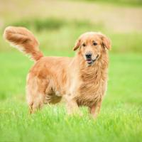 Golden retriever debout dans l'herbe