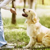 Golden retriever avec son maitre
