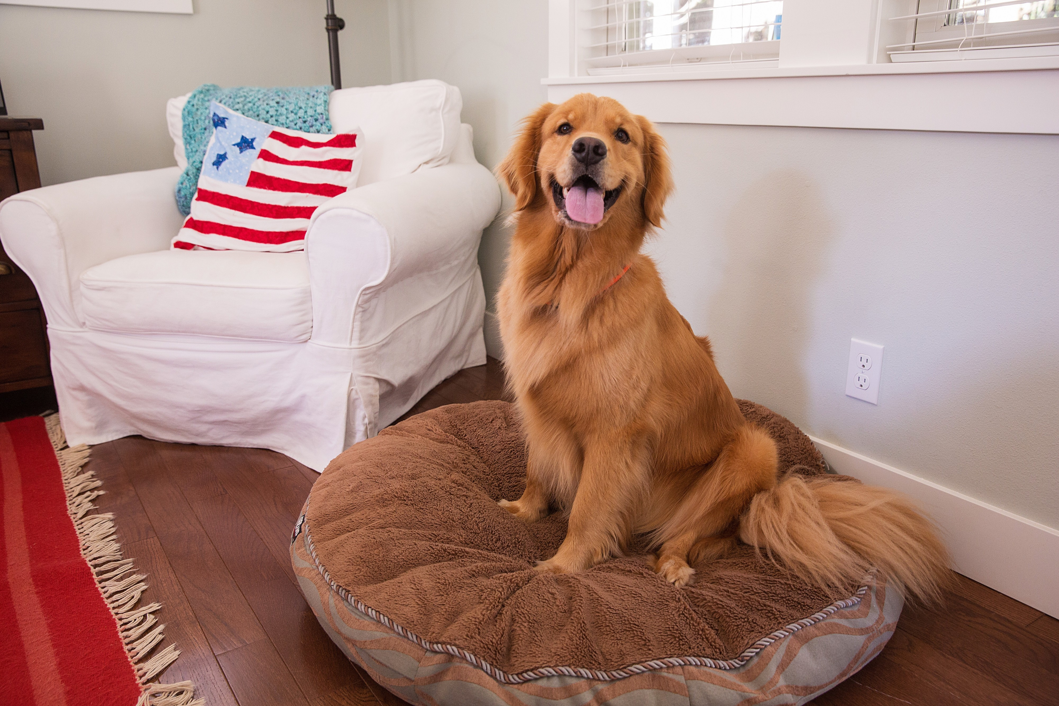 Golden retriever assis dans son panier