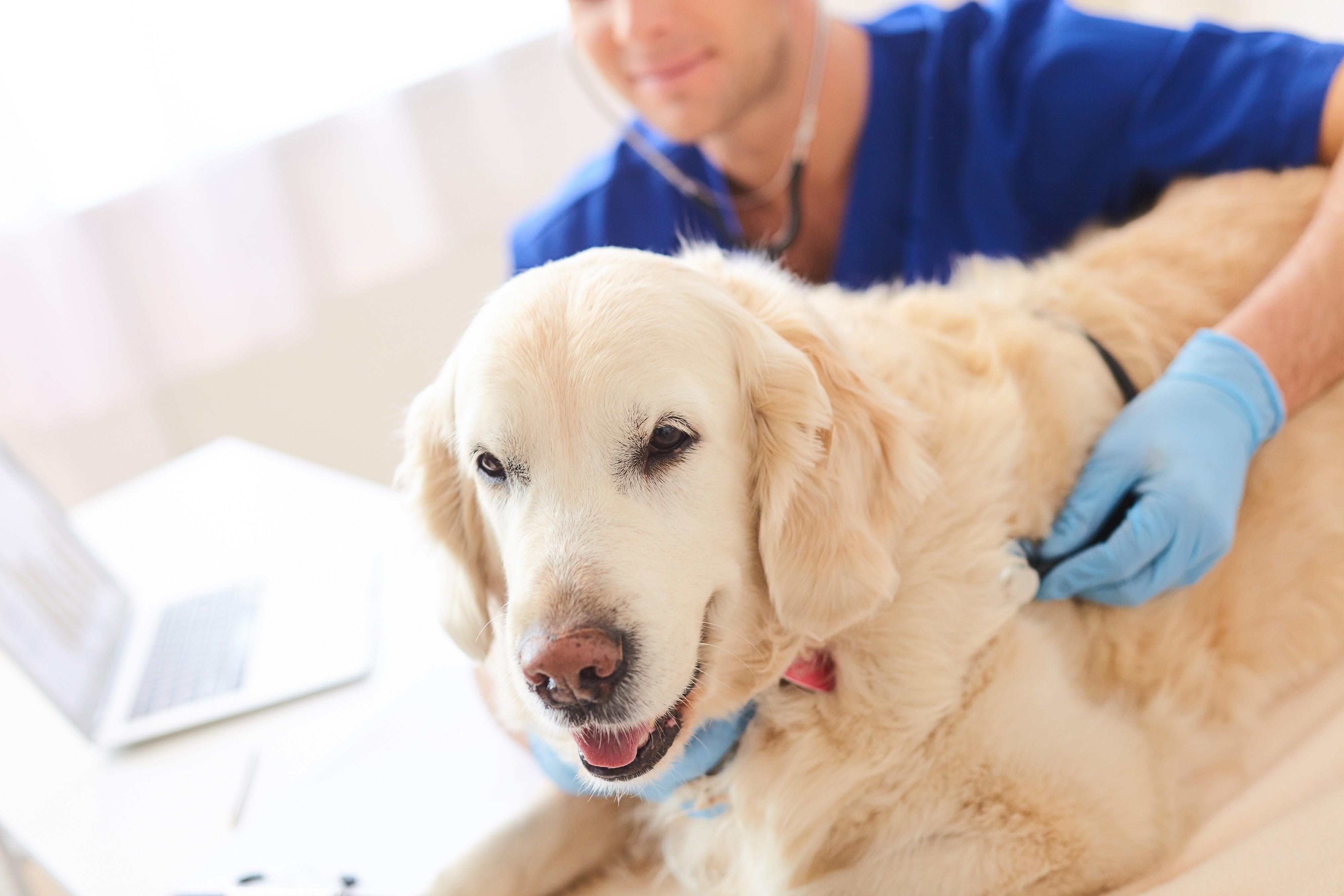 Golden retriever chez le vétérinaire