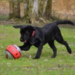 Elevage Del Punta Verde : chiot Labrador noir
