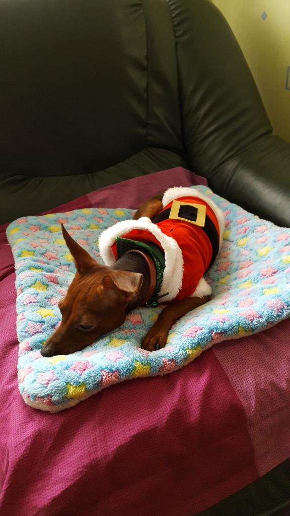 Guizmo en père Noël