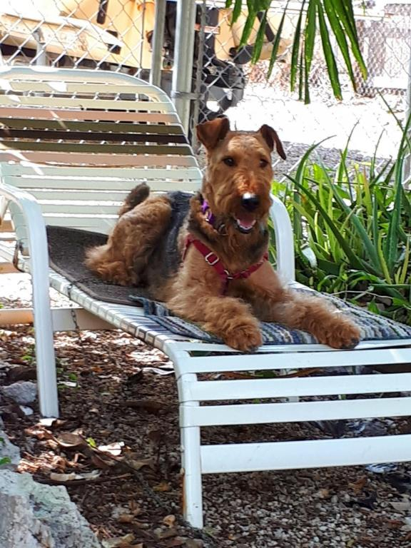 Hadel 3 ans, la Airedale Terrier de Pauline
