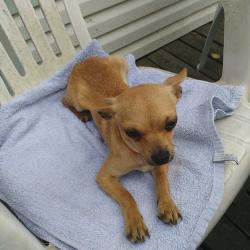 Havane, petit Chihuahua de 1 an