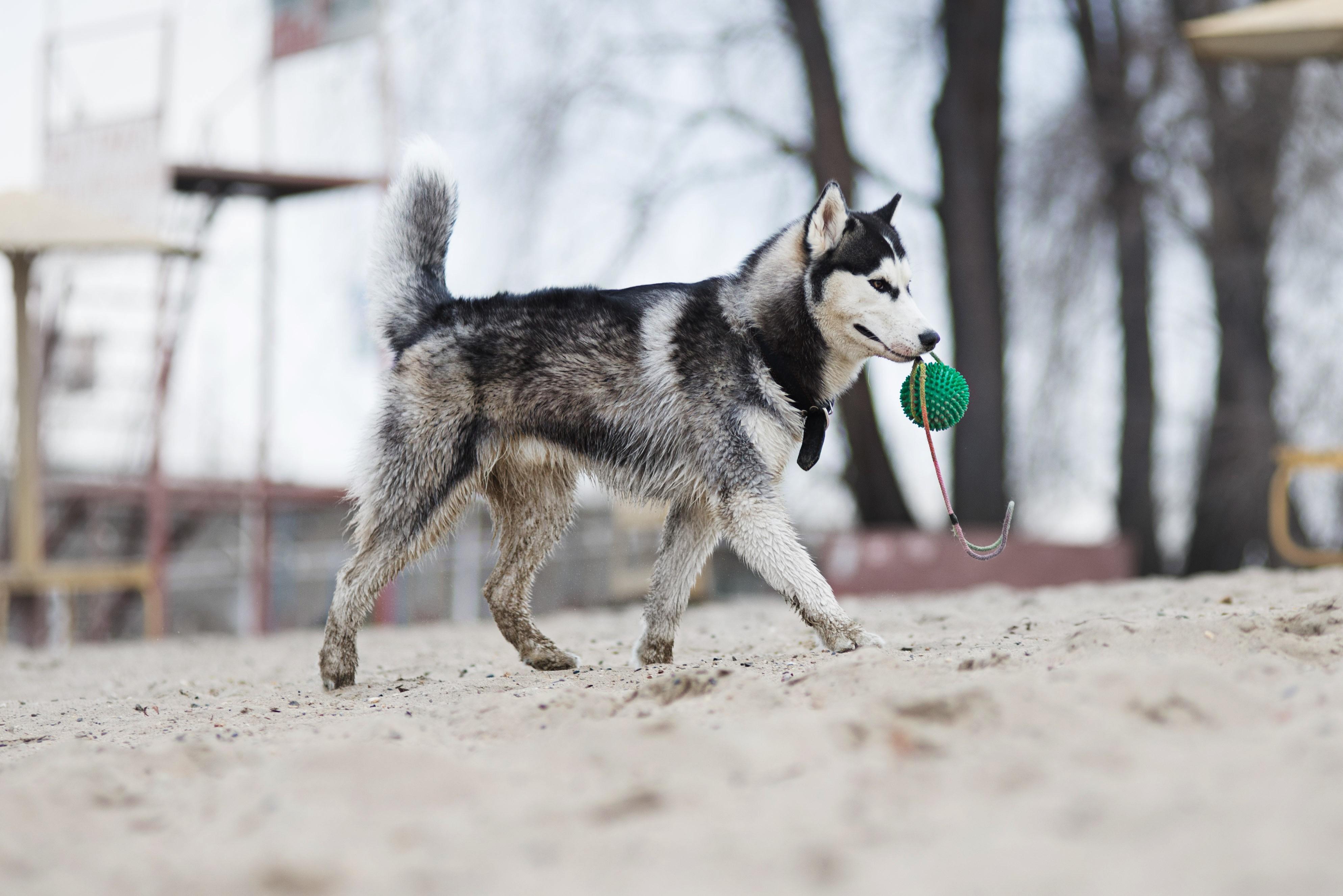 Husky siberien avec sa balle