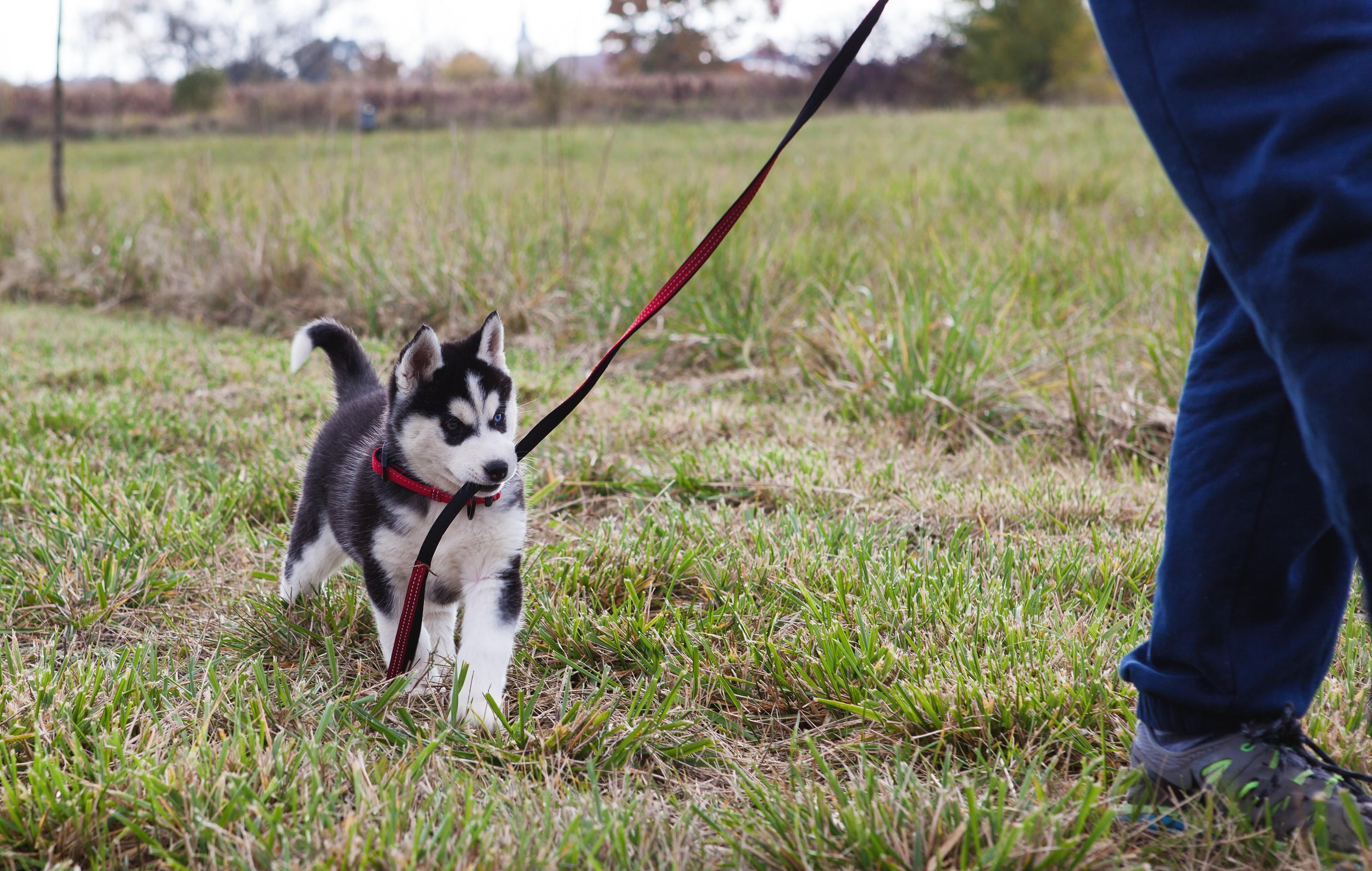 Chiot Husky siberien dans la nature