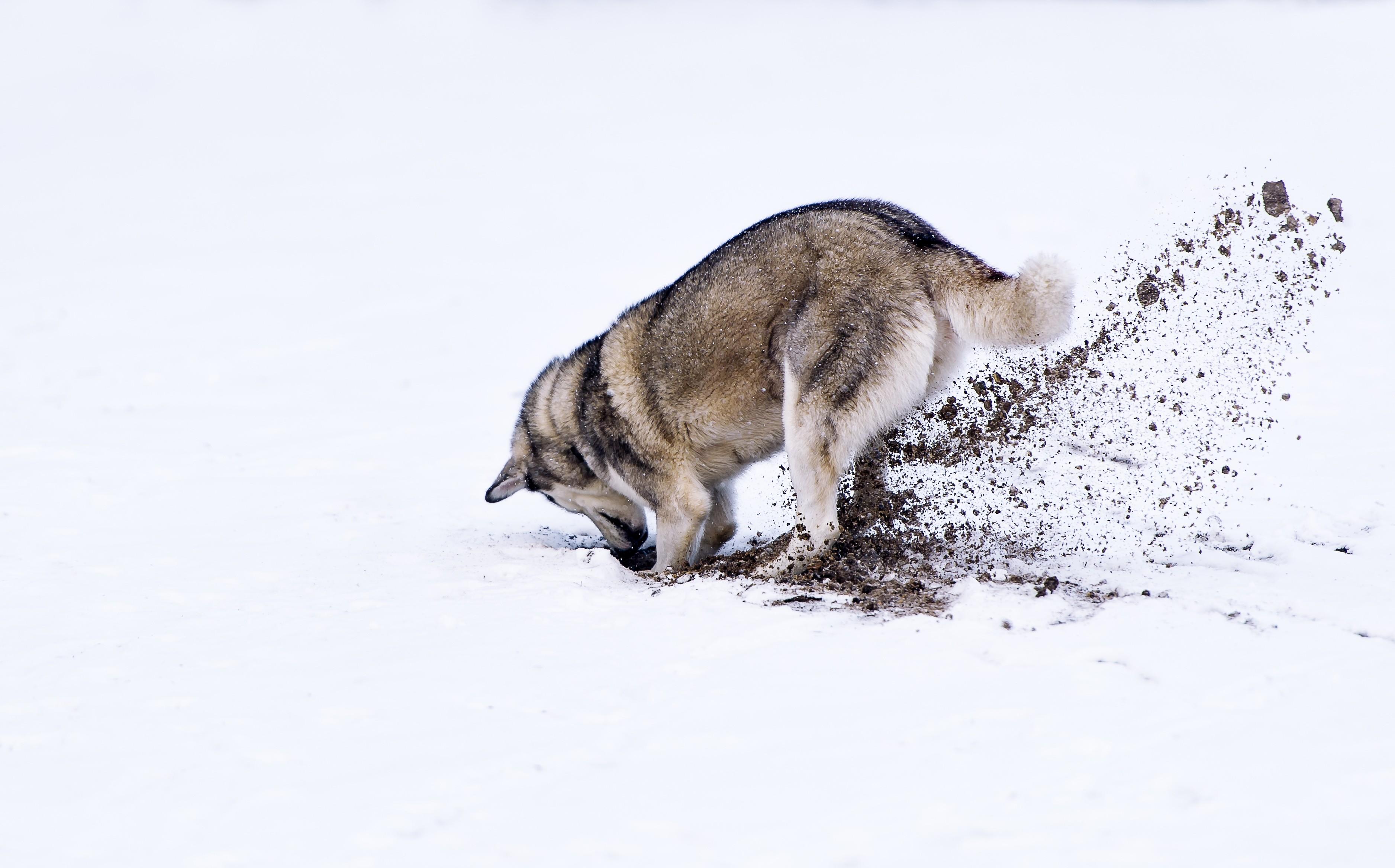 Husky siberien qui creuse