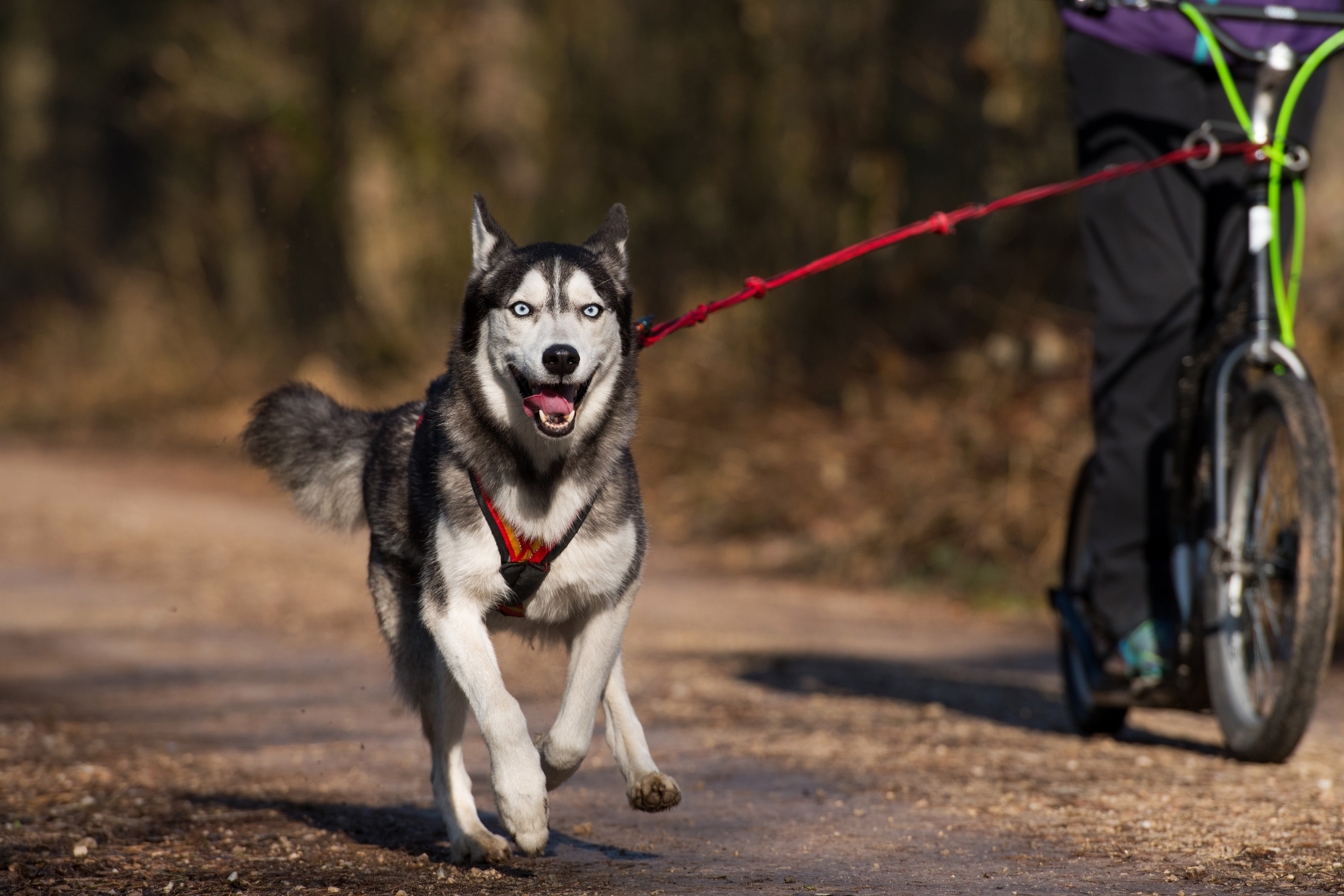 Husky siberien qui fait du dogscooter